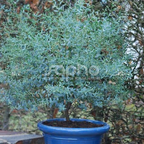 Eucalyptus gunnii FRANCE BLEU® 'Rengun'