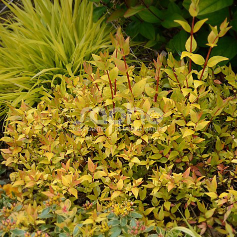 Abelia x grandiflora GOLD TOUCH® 'BMRGOLD'