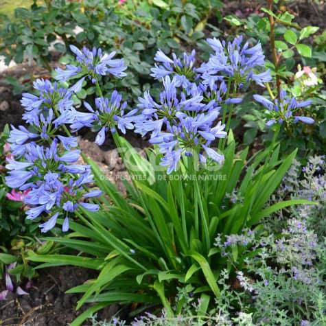 Agapanthus PITCHOUNE® Blue 'Scrarey09'