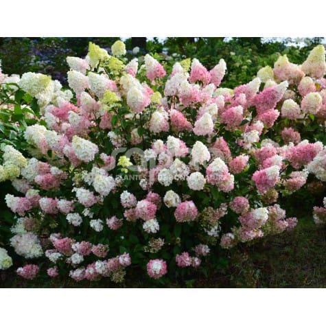 Hydrangea paniculata SUNDAE FRAISE® 'Rensun'