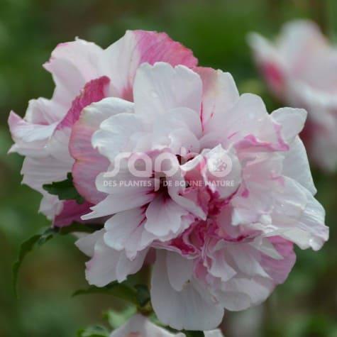 Hibiscus syriacus FRENCH CABARET® PASTEL 'MINDOUB1'