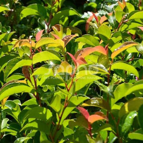 Prunus lusitanica ssp azorica TICO ® 'YBRAZO01'