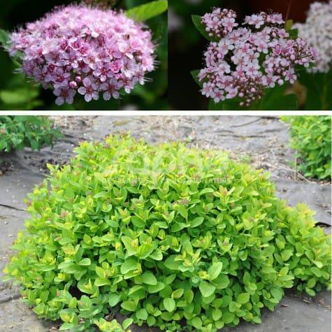 Spiraea betulifolia PINK SPARKLER ® 'COURISPI01'
