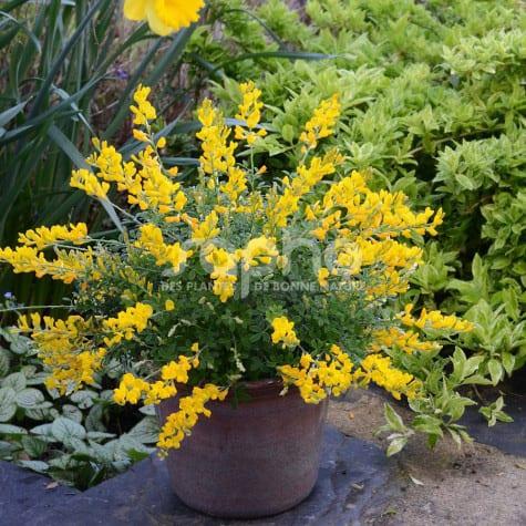 Cytisus racemosus PHEBUS ® 'GENI138'