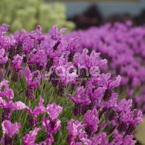 Lavandula stoechas THE PRINCESS ® Lavender 'IB910-2'