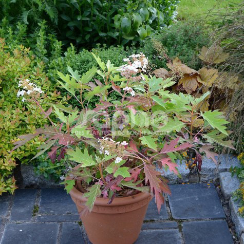 Hydrangea quercifolia  ICE CRYSTAL 'HQOPR010'