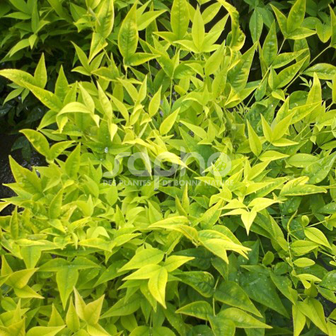 Nandina domestica MAGICAL ® Lemon-Lime 'LEMLIM'