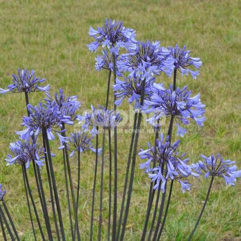 Agapanthus GRAPHITE ® Blue 'TURK8'