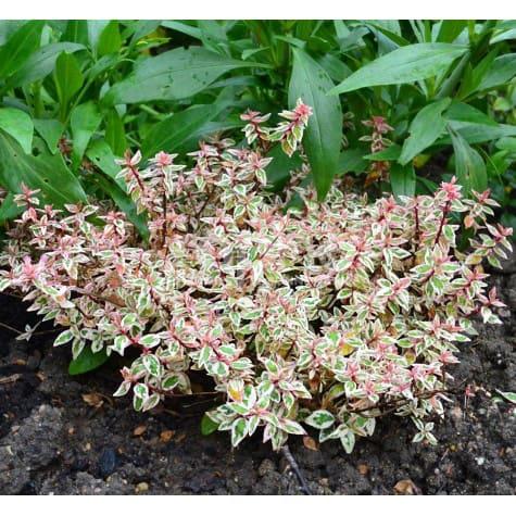 Abelia x grandiflora  PINK LADY 'KEYLAD'