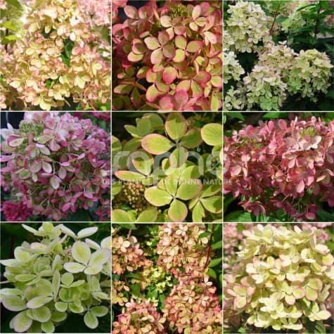 Hydrangea paniculata PASTELGREEN ® 'RENXOLOR'