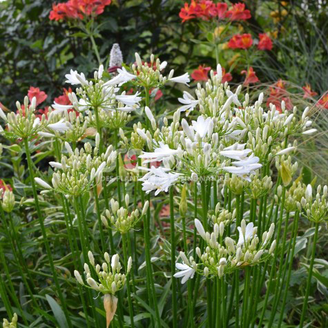 Agapanthus PITCHOUNE® White 'TUR161'