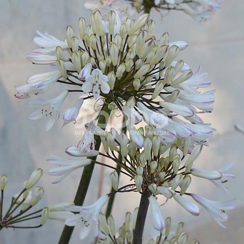 Agapanthus GRAPHITE ® White 'TURK3'