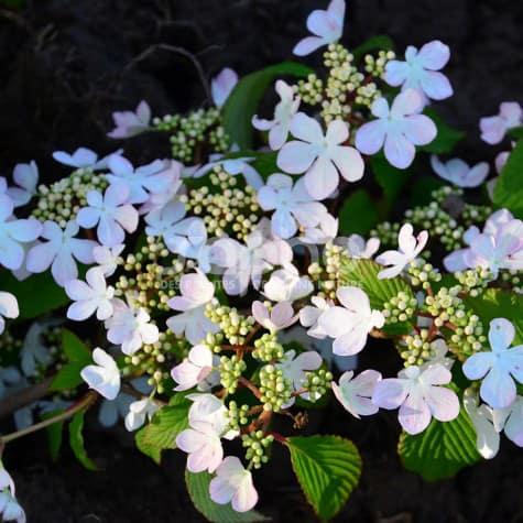 Viburnum plicatum KILIMANDJARO ® Sunrise 'JWW5'