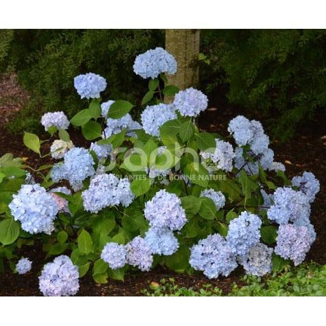 Hydrangea macrophylla  SO LONG ® Ebony 'MONMAR'
