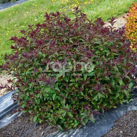 Spiraea japonica  MERLO ® Green 'DAVROU01'