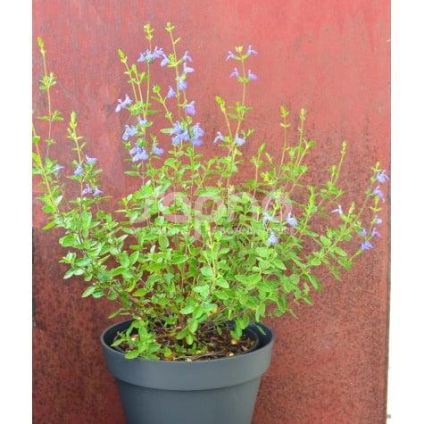Salvia VICTORIA BLUE ® 'VIVISAL'
