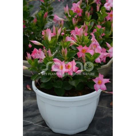 Dipladenia sanderi  LUTEVA ® Duo Pink  'LODEV06'