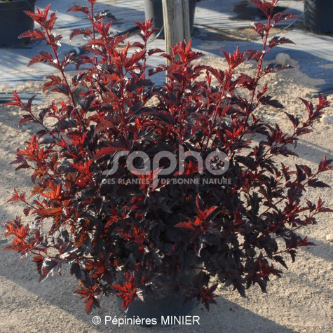 Physocarpus opulifolius  ALL BLACK ® 'MINALL2'