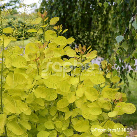 Cotinus coggygria GOLDEN LADY ® 'MINCOJAU3'