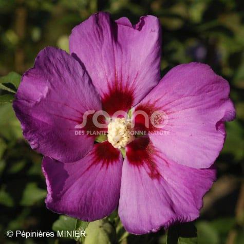Hibiscus syriacus  RUSSIAN VIOLET ® II 'MINSYRU3'