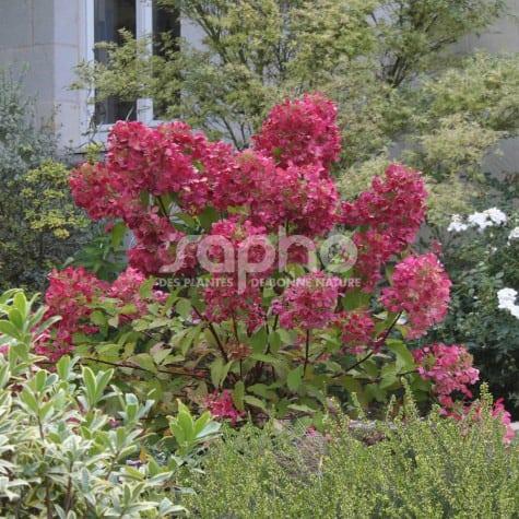Hydrangea paniculata DIAMANT ROUGE® 'Rendia'