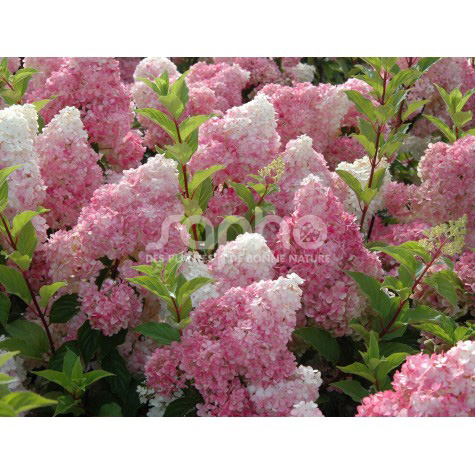 Hydrangea paniculata VANILLE FRAISE® 'Renhy'