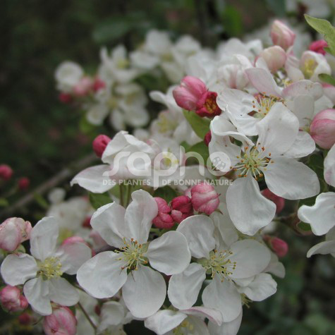 Malus PERPETU® 'Evereste'