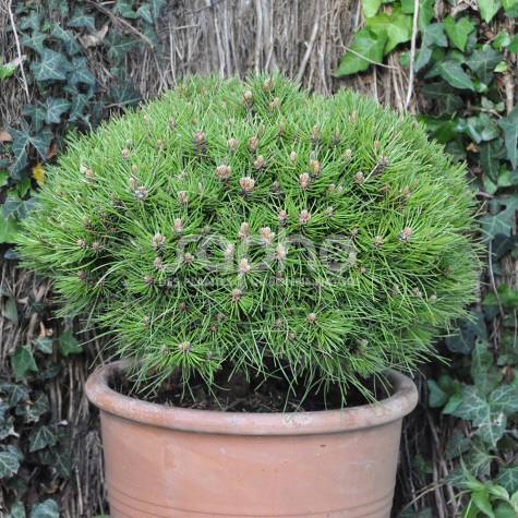 Pinus 'Marie Brégeon'