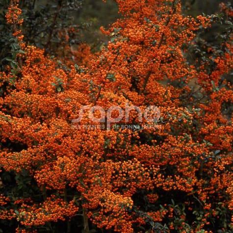 Pyracantha Gamme SAPHYR® Orange 'Cadange'