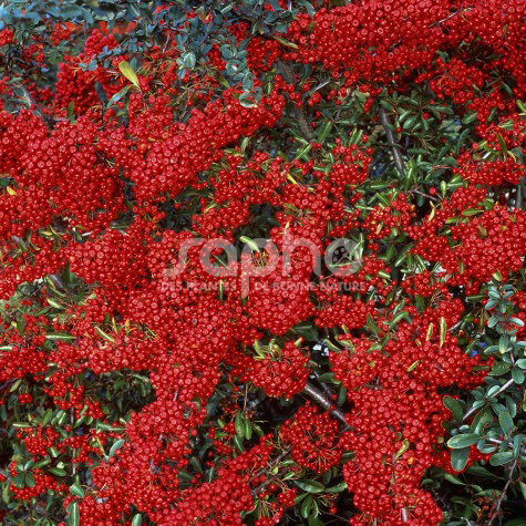 Pyracantha Gamme SAPHYR® Rouge 'Cadrou'