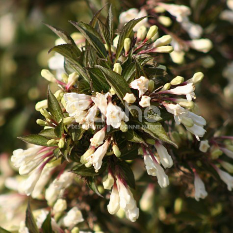 Weigela BLACK AND WHITE® 'Courtacad 1'