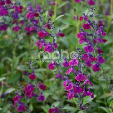 Salvia x jamensis VIOLETTE DE LOIRE® 'Barsal'