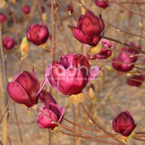 Magnolia Susan Ou Pourpre-Magnolia en pot
