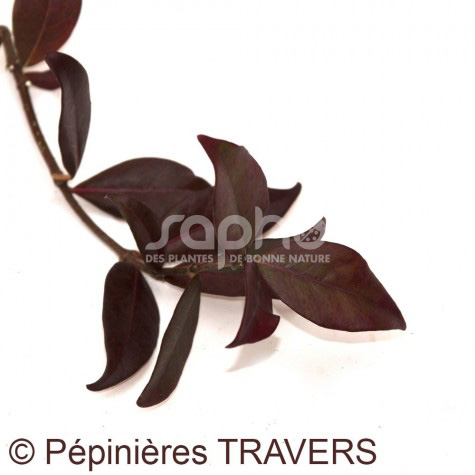 trachelospermum jasminoides winter ruby 39 trared 39. Black Bedroom Furniture Sets. Home Design Ideas