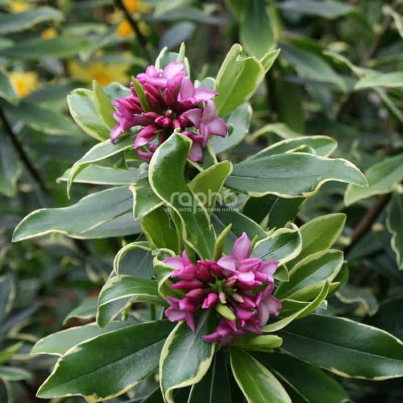 Daphne odora 'Rogalski' en fleurs