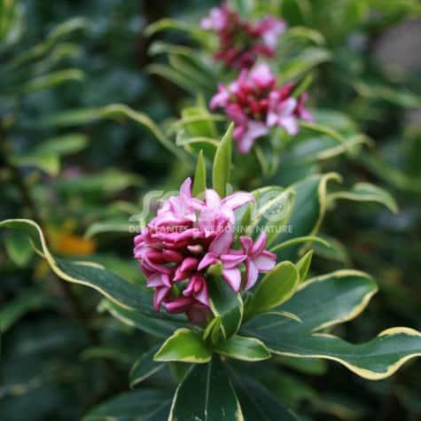 Daphne odora 'Rogalski' floraison parfumée