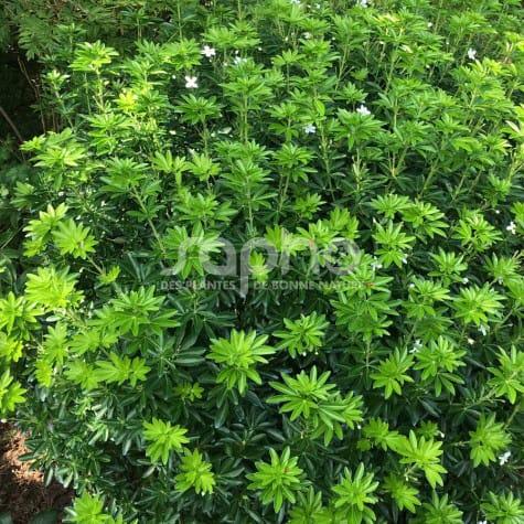 Choisya GREENFINGERS 'Lissfing' arbuste bien ramifié, tiges robustes, forme arrondie
