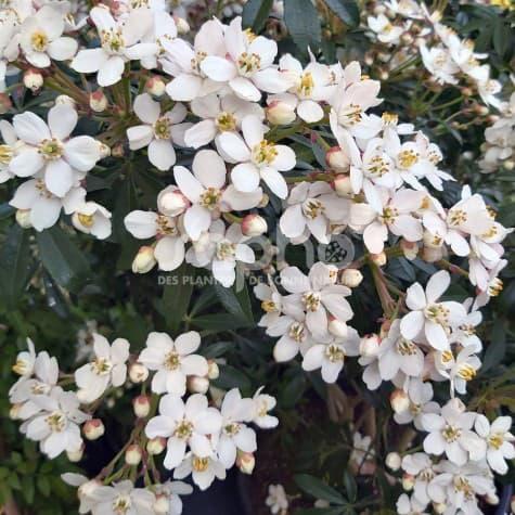 Choisya GREENFINGERS 'Lissfing' floraison très abondante et parfumée