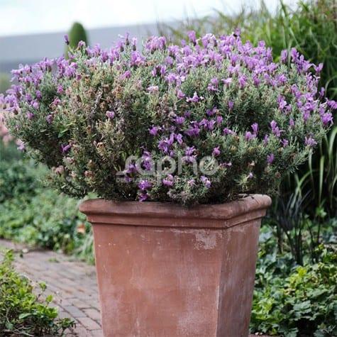 Lavandula stoechas MAGICAL® Posy Purple 'KOLMAPOPU'
