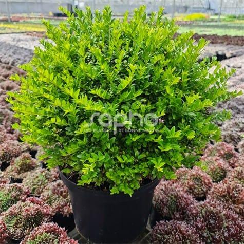 Lonicera nitida GARDEN CLOUDS® Green Breeze
