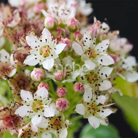 Physocarpus opulifolius Raspberry Lemonade® 'ZLEYel2'