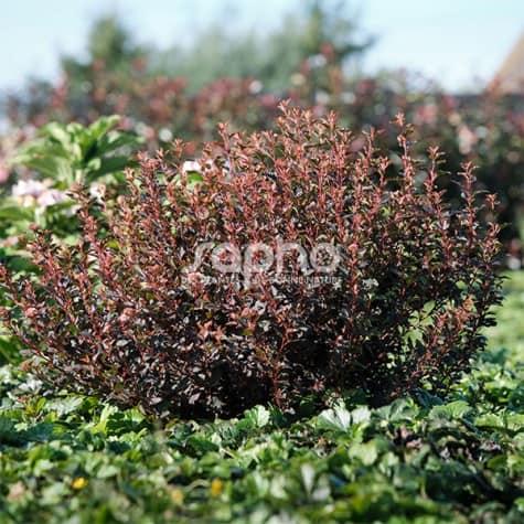 Physocarpus opulifolius Sweet Cherry Tea® 'ZLEBic5'