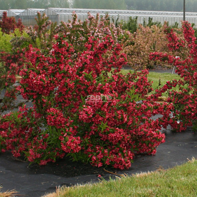 Conifere Nain Pour Pot weigela nain rouge® 'courtanin'
